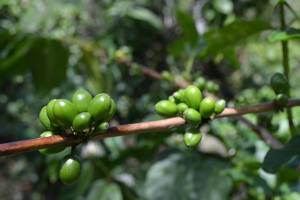 Aus den Blüten reifen zunächst grüne Kaffeekirschen heran.